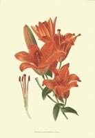"""Striking Lilies II by Edward Step - 13"""" x 19"""""""