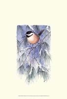 Chickadee in White Pine Fine Art Print
