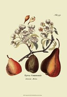 """13"""" x 19"""" Pear Pictures"""