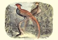 Pheasant Varieties II Fine Art Print