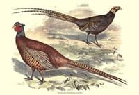 Pheasant Varieties V Fine Art Print