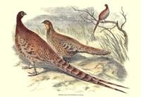 Pheasant Varieties VI Fine Art Print