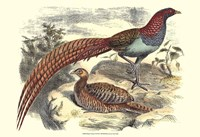 Pheasant Varieties VII Fine Art Print