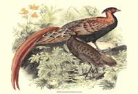 Pheasant Varieties VIII Fine Art Print