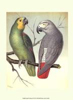 Parrots II Fine Art Print