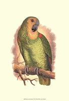 """Blue-Fronted Amazon - 13"""" x 19"""""""