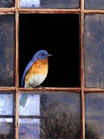 Bluebird Window Fine Art Print