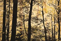 Golden Wood Fine Art Print