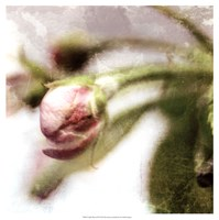 Apple Blossom III Fine Art Print