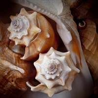 Macro Shells III Framed Print