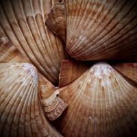 Macro Shells VI Framed Print