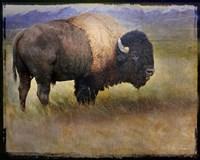 Bison Portrait II Fine Art Print
