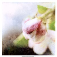 Apple Blossom II Fine Art Print