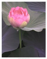 Blushing Lotus II Fine Art Print