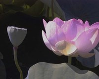 Blushing Lotus III Fine Art Print