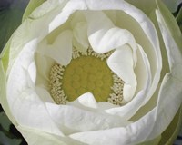 Delicate Lotus I Fine Art Print