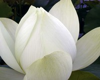 Delicate Lotus IV Fine Art Print