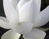 Delicate Lotus V Fine Art Print