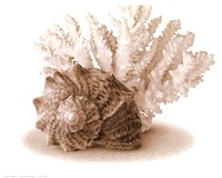 "Seashells II - 14"" x 12"", FulcrumGallery.com brand"