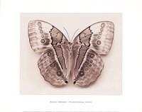Stichopthalma Louisa Fine Art Print