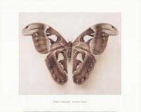 Attacus Atlas Fine Art Print