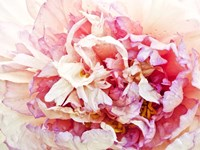 Monet's Peony I by Rachel Perry - various sizes