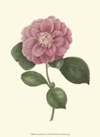 Camellia Blooms III Fine Art Print