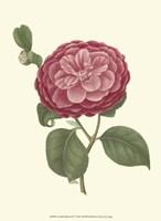 Camellia Blooms IV Fine Art Print