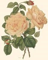Vintage Roses III Framed Print