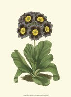 Antique Primula I Fine Art Print