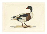 Duck II Fine Art Print