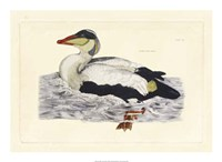 Duck III Fine Art Print
