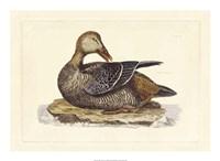Duck IV Fine Art Print