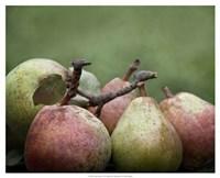 Comice Pears II Framed Print