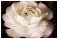 "Elegant Ranunculus II by Christine Zalewski - 25"" x 17"", FulcrumGallery.com brand"