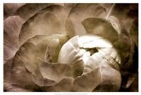 """Elegant Peony II by Christine Zalewski - 25"""" x 17"""", FulcrumGallery.com brand"""