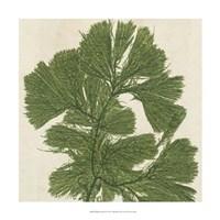 Brilliant Seaweed IV Fine Art Print
