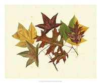 Tulip Tree, Sweet Gum & Scarlet Oak Fine Art Print