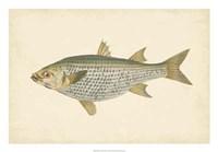 "Antique Fish IV by Maria Donovan - 26"" x 18"""