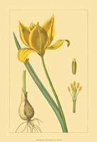 Tulipe Sauvage Fine Art Print