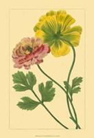 Ranunculus I Fine Art Print