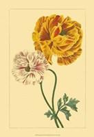 Ranunculus II Fine Art Print