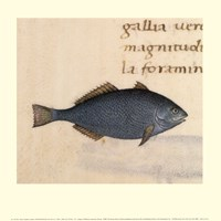 Blue Fish Fine Art Print