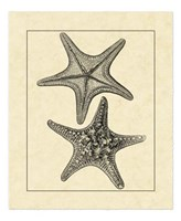 Antique&Deckle Vintage Starfish II Fine Art Print