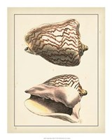 """Antique Diderot Shells VI by Denis Diderot - 16"""" x 20"""""""