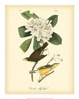 "Canada Flycatcher by John James Audubon - 16"" x 20"""