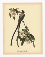 "Fork-tailed Flycatcher by John James Audubon - 16"" x 20"""