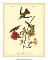 "Mango Hummingbird by John James Audubon - 16"" x 20"""