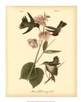"Anna Hummingbird by John James Audubon - 16"" x 20"""