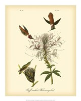 "Ruff-neck Hummingbird by John James Audubon - 16"" x 20"""